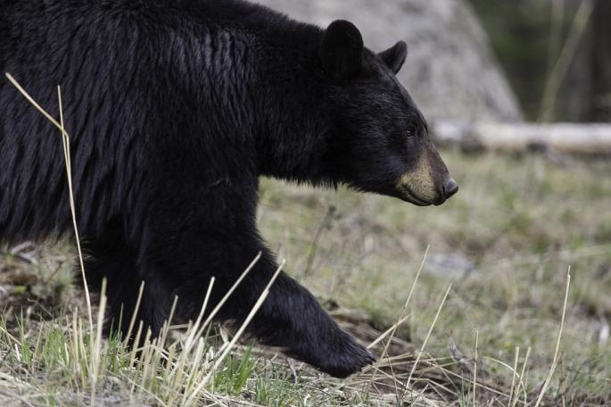 black-bear-1901957_960_720.jpg